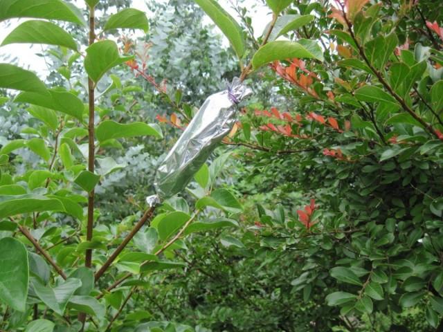Воздушный отводок для размножения яблони