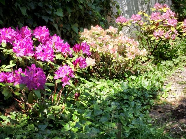 Для достижения высокой декоративности цветника из рододендронов молодого возраста придется подождать около 5 лет