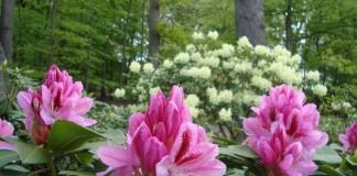 Рододендроны на цветнике из одного-единственного растения чувствуют себя комфортнее, чем в сложных декоративных ансамблях