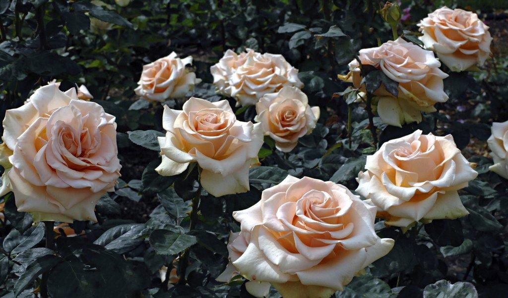 rose-marilyn-monroe