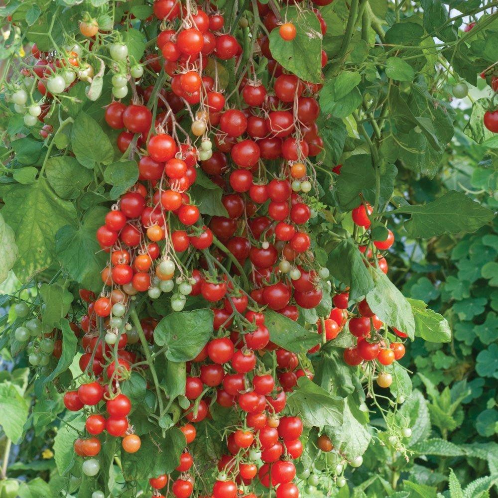 tomat-vishnevyi-vodopad
