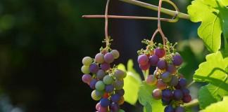 Виноград сбрасывает завязи по ряду причин