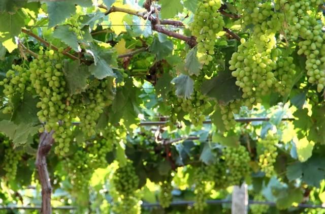 Существуют сорта винограда, которые биологически склонны к осыпанию завязи
