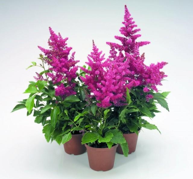 Покупая цветущую астильбу в магазине, ее не стоит пересаживать