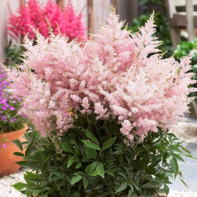 Цветение астильбы - одно из самых роскошных зрелищ в саду или в комнате