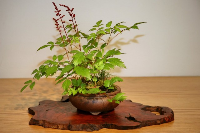Выращивая астильбу в комнате, лучше отдать предпочтение маленьким емкостям