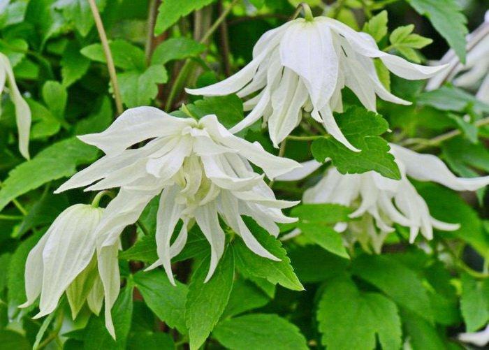 clematis-albina-plena-1