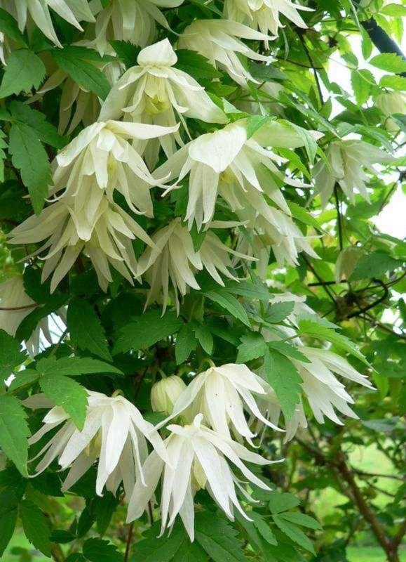 clematis-albina-plena-2