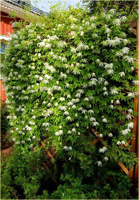 clematis-albina-plena-3