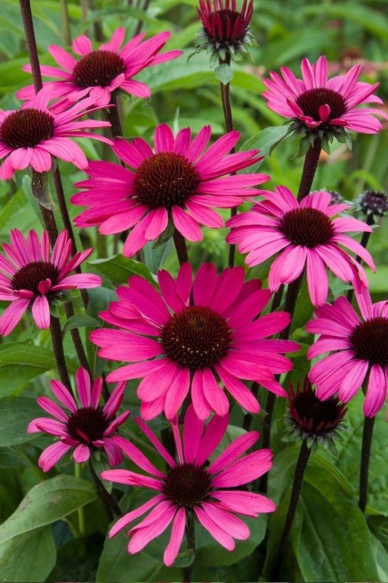 echinacea-purpurea-summer-cloud