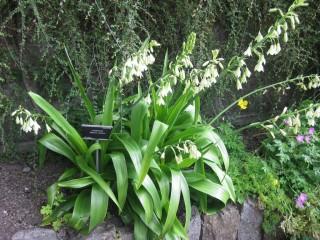 Гальтония зеленоцветковая (Galtonia viridiflora)