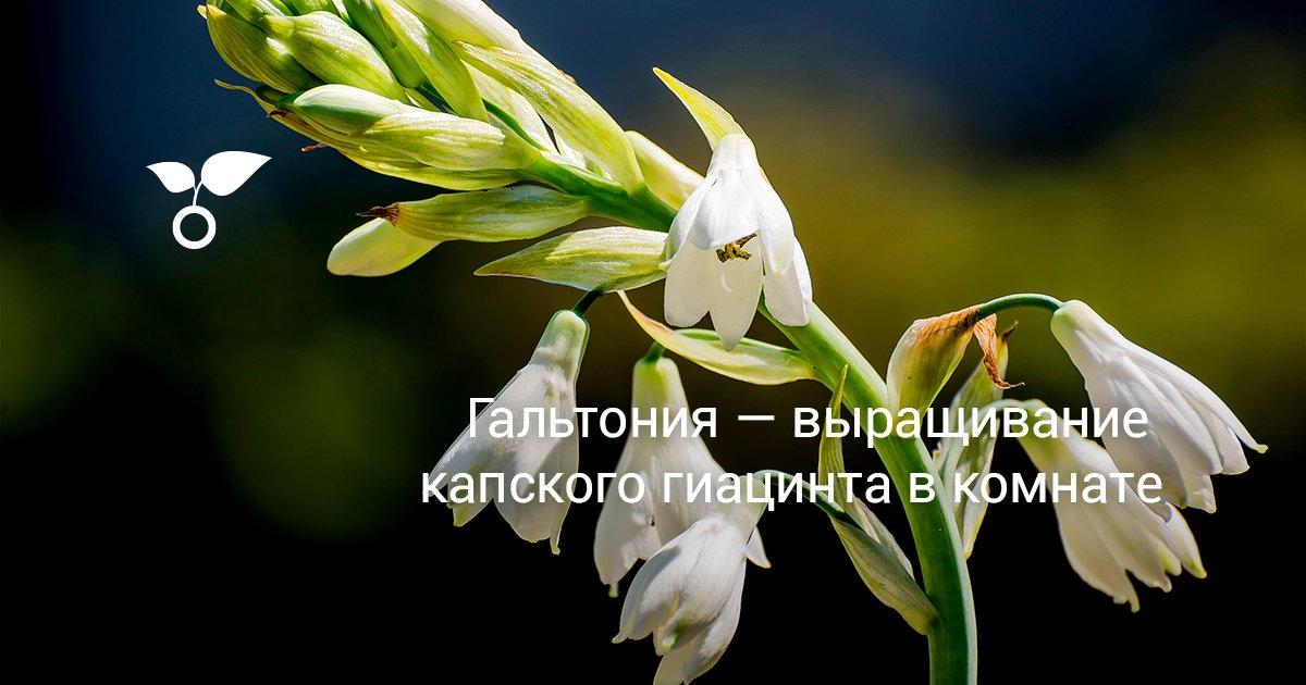 Цветок гальтония