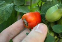 Почему гниют томаты на ветке?