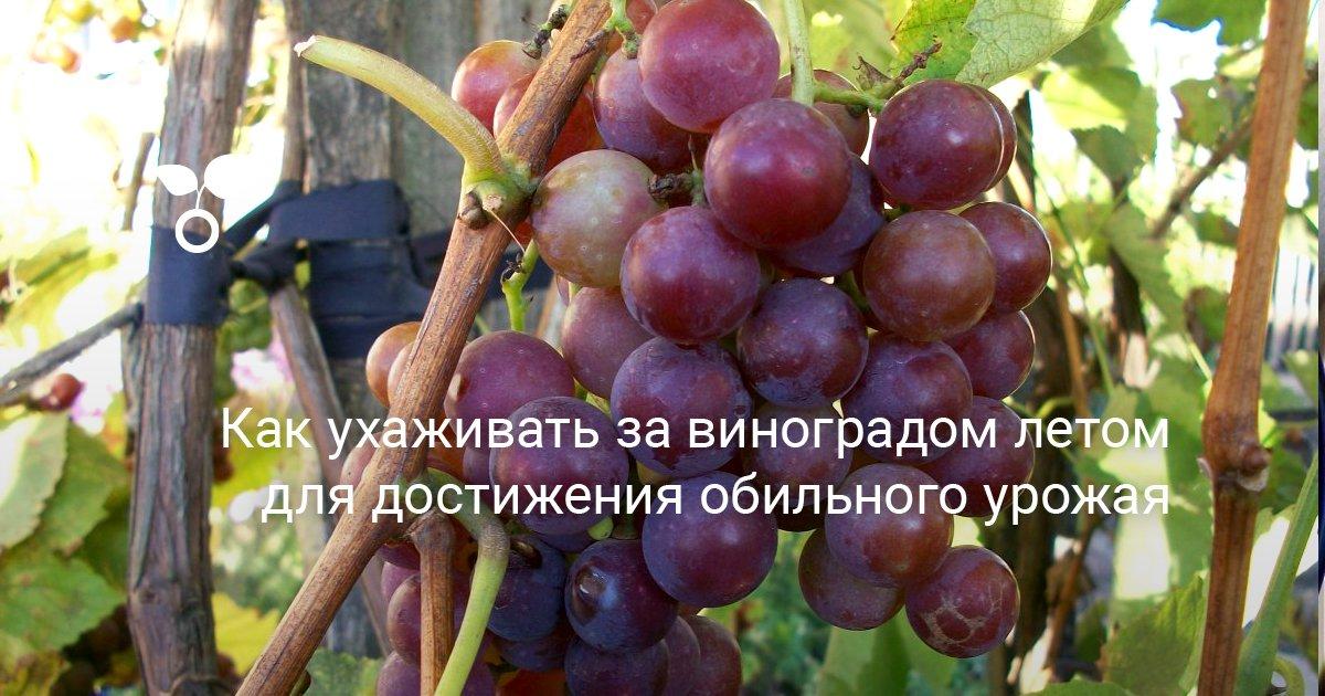 Как правильно ухаживать за виноградом летом, чтобы был хороший урожай