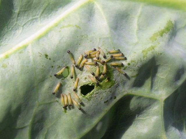 С гусеницами можно побороться с помощью луковой шелухи