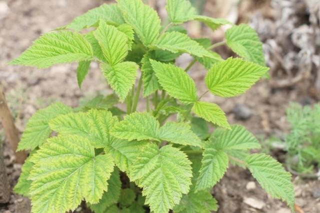 В мае, до цветения малины, важно провести еще одну обработку против вредителей и болезней