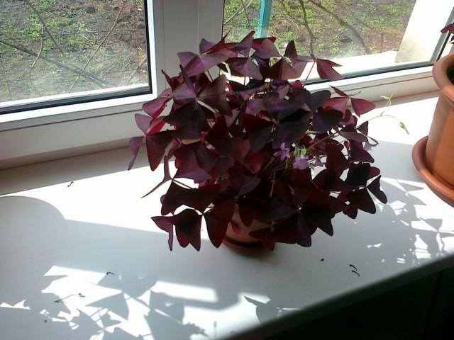Кислица - солнцелюбивое растение, которое не может выращиваться вдали от подоконников