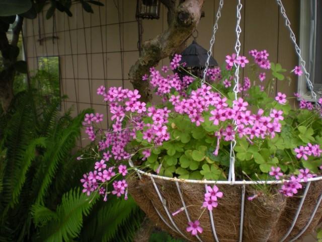 Ампельная кислица розовая (Oxalis rosea)