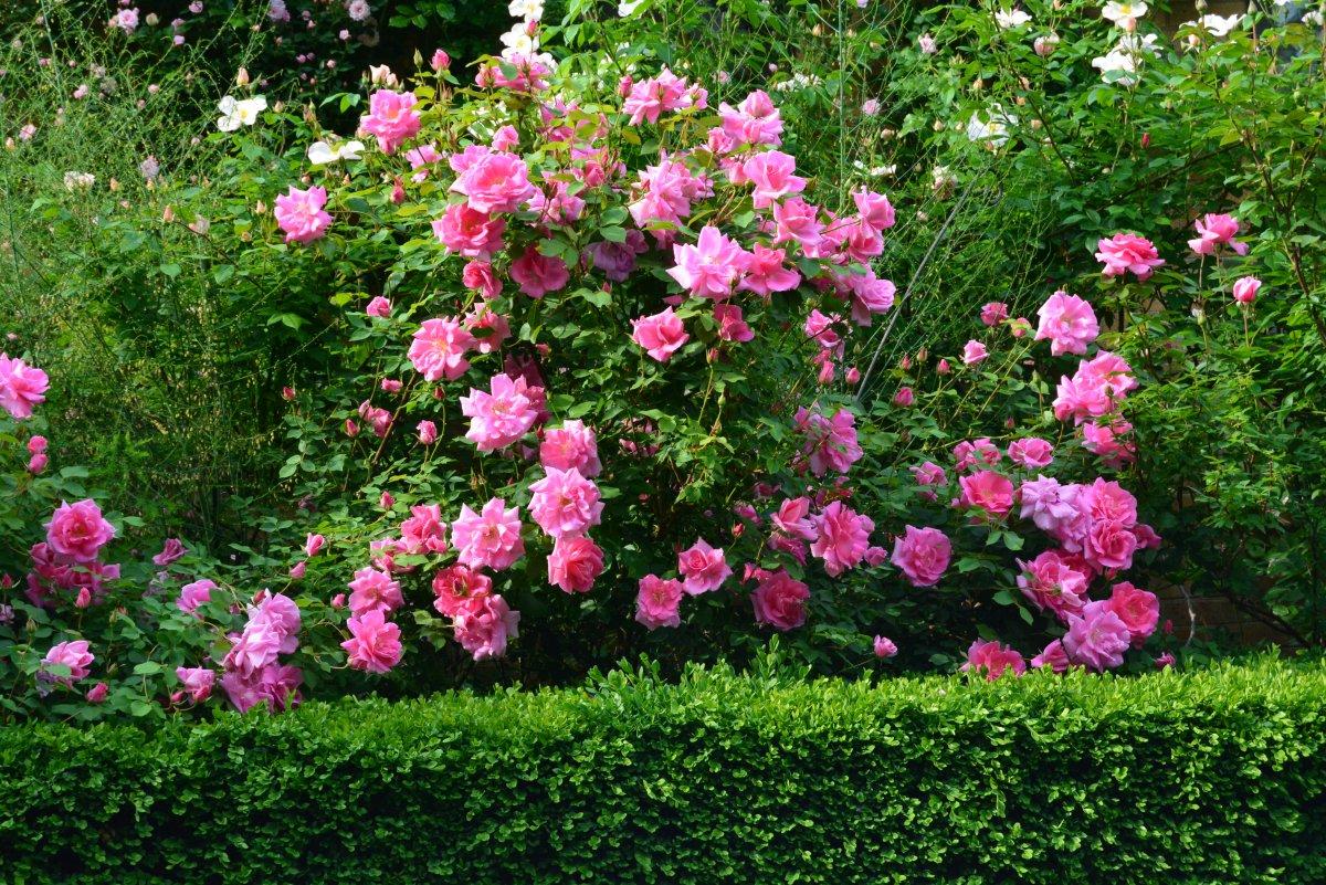 rosa-carefree-beauty-1
