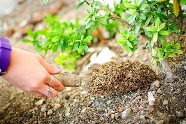 Суперфосфат под взрослые деревья и кусты можно вносить в середине сезона