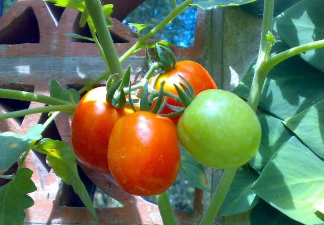 Созревание помидоров происходит поэтапно: сначала они приобретают молочную спелость, затем бланжевую и, наконец, полную