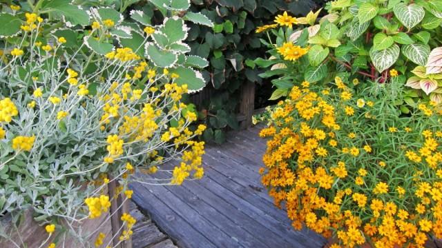 Чтобы цинния узколистная цвела как можно дольше, у растения лучше своевременно удалять увядающие соцветия