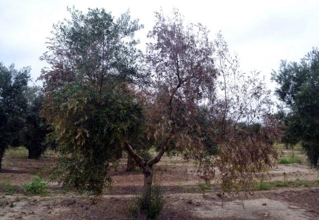 Гибель побегов растения, зараженного вилтом, происходит не одновременно