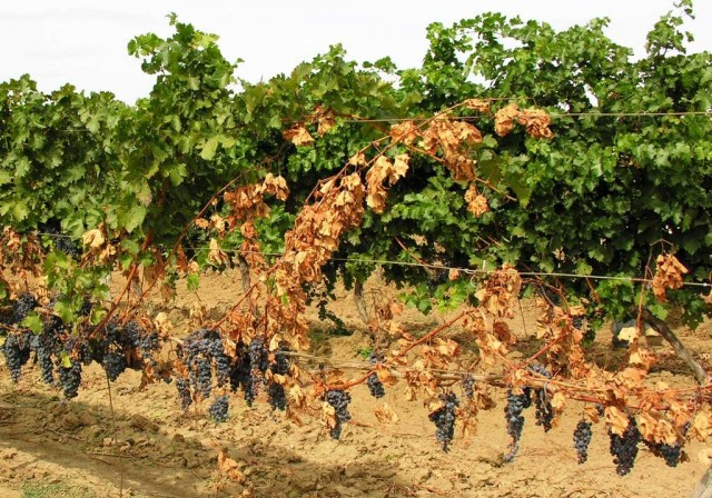 Виноград с признаками вертициллезного увядания