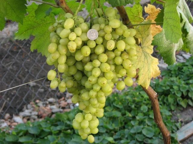 Виноград «Алёшенькин дар»