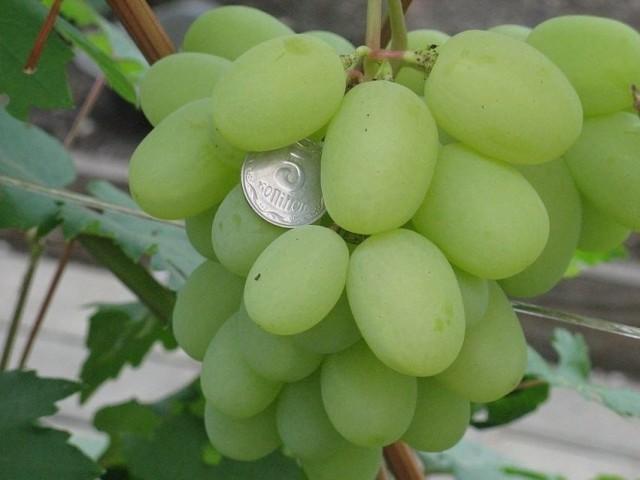 Виноград «Боготяновский»