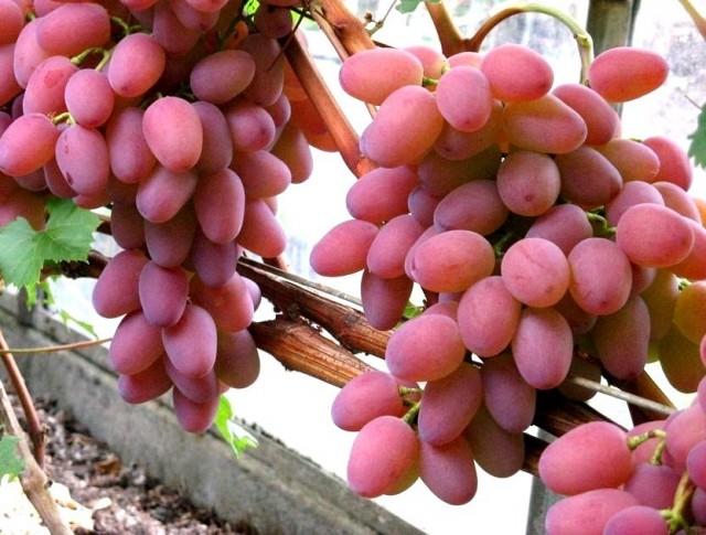 Виноград «Гелиос»