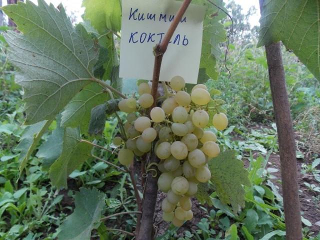 Виноград «Коктейль»