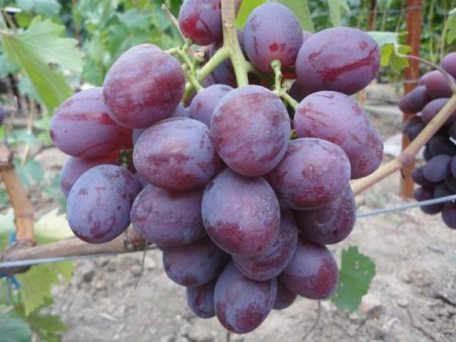 Виноград «Низина»