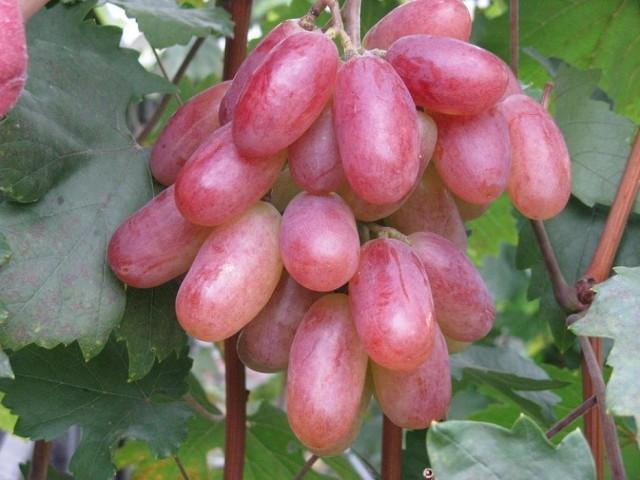 Виноград «Преображение»
