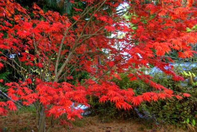 Клен дланевидный (Acer palmatum)