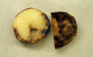 Клубни картофеля, пораженные фитофторой