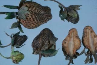 Фитофтороз ягод земляники садовой