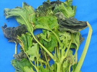 Фитофтора на листьях кабачка