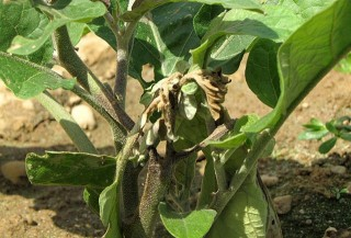 Листья и стебли баклажана, пораженные фитофторой