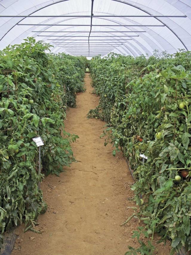 Теплица, в которой растения болели фитофторозом, нуждается в специальной обработке после сбора урожая и внутри, и снаружи