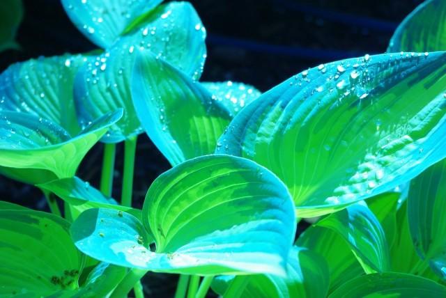 Голуболистные хосты любят укромное освещение, светлую полутень или места, где солнечные лучи попадают на листья только до полудня
