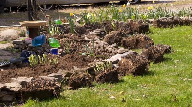 Сроки посадки хосты совпадают с обычными сроками посадки травянистых многолетников
