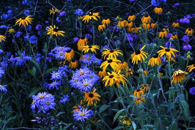 Сортовые итальянские астры - растения эффектные, но все же имеющие репутацию более пейзажного растения