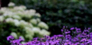 Итальянские астры — сорта, уход, использование в дизайне сада