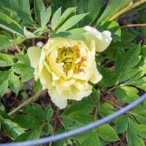 Ито-пион, сорт «Жёлтый император» (Yellow Emperor)