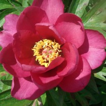 Ито-пион, сорт «Pink Ardour»