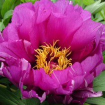 Ито-пион, сорт «Morning Lilac»