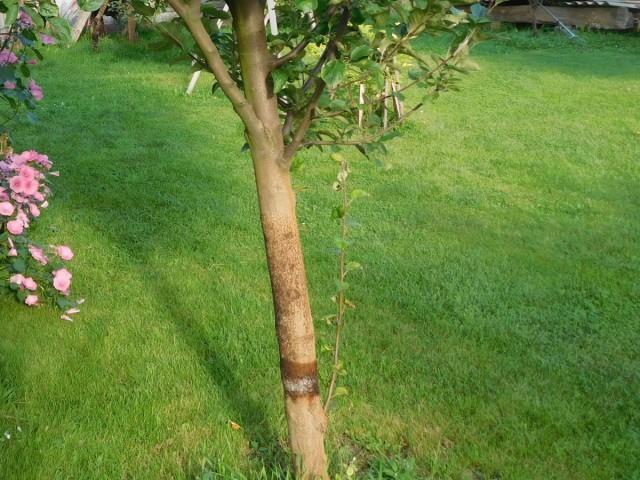 Ловчие пояса - эффективная и безопасная ловушка для вредителей яблони