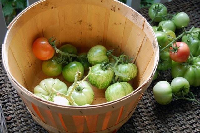 При быстром созревании томаты сразу употребляются в пищу, они не переносят длительного хранения