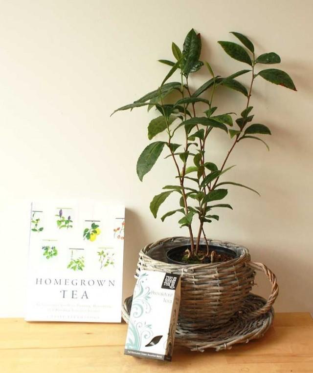 Камелия китайская, или Чай китайский (Camellia shinensis, синоним Thea chinensis)